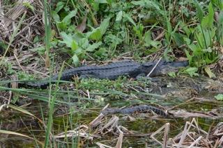 Boca Raton Airboat Tours wildlife